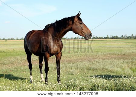 A horse walks in the field. The foal is walking with his parents in a meadow. Little pony. Thoroughbred horse breed. Thoroughbred a stallion. Three huge horse racing mares.1