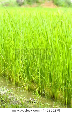 paddy field rice paddy or rice field