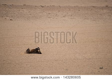 Wild Horse Roling In Sand.