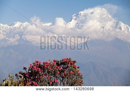 Summit of mount Dhaulagiri from Poon Hill on Round Annapurna trek Annapurna Circuit Kaski District Nepal.