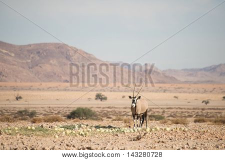 Oryx In Desert Landscape