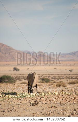 Oryx Feeding On Desert Melons