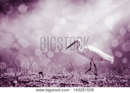 Animals in wildlife. Side view of white egret walking with bright sunlight on blurred abstract colorful bokeh background. long neck bird. Outdoors. Vintage tone effect.