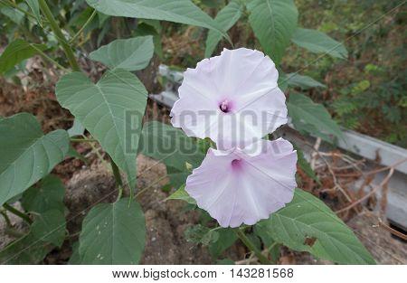 Bush Morning Glory flower in morning thai
