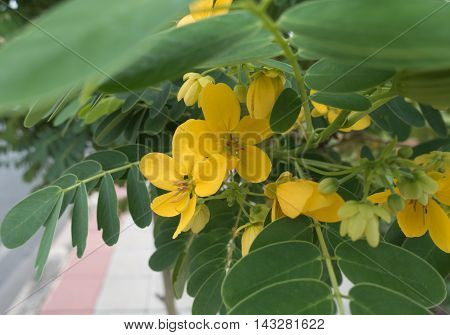 Glaucous Cassia's yellow flowers blooming morning thai