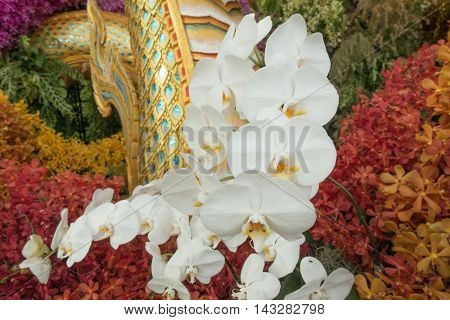 White Phalaenopsis orchid flowers on orchid flowers