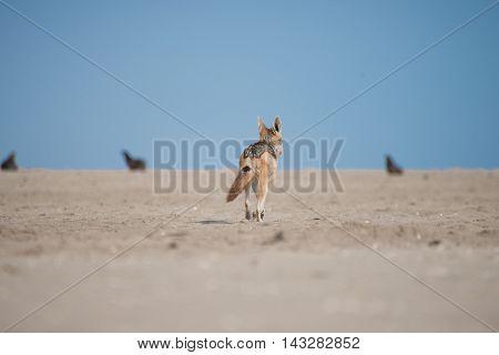 Jackal Walking Towards Seals