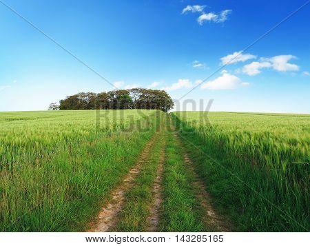 Idyllic footpath through a green rye field or corn field in springtime.
