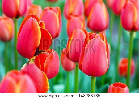 Colorful flowerbed with red and  yellow tulips spring flower garden