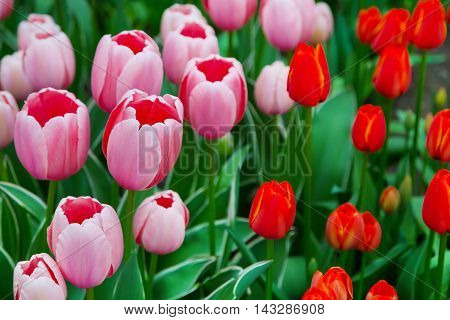 Colorful pink red tulip flowerbed panoramic background in spring flower garden