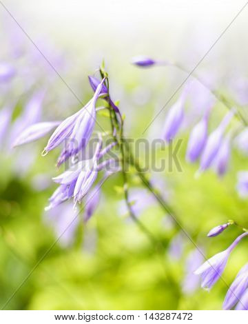 Bluebell flowers with sunlight and selective focus.