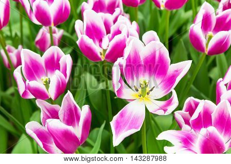 Vibrant colorful panoramic holiday or birthday background with beautiful closeup white and purple tulips flowerbed