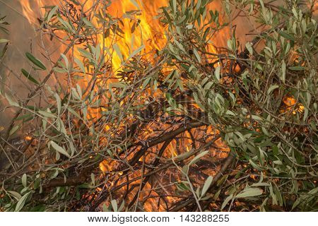 Olive Branches And Fire