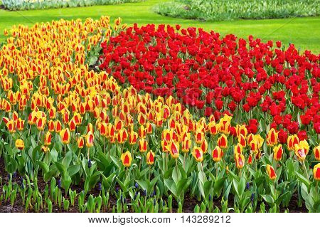Vibrant yellow and red tulips with water drops background, flowerbed after rain postcard, spring flower garden