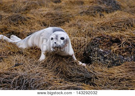 Baby seal on a large bed of seaweed.