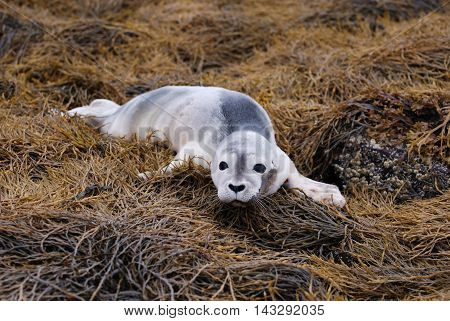 Precious harbor seal pup on a bed of seaweed.