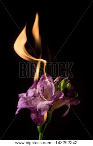 Purple Freesia On Fire