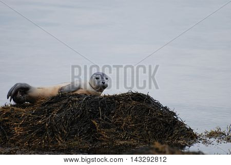 Cute harbor seal pup balancing on a rock covered with seaweed.