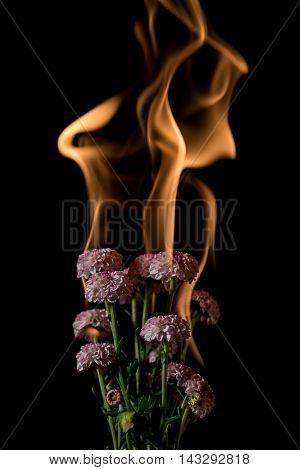 Chrysanthemum Flower On Fire