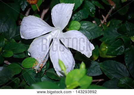 Hibiscus flower. white hibiscus flower with water drop
