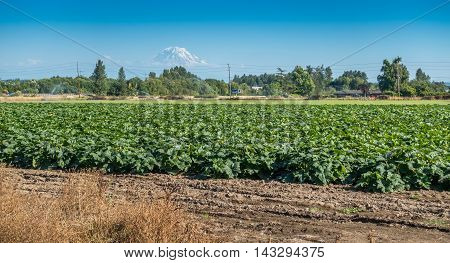 A field of crops grows with Mount Rainier in the distance.