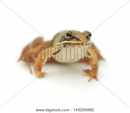 little frog on white background, wood frog