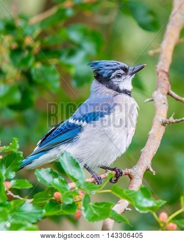 Male blue jay perched on a branch.