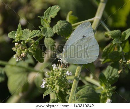 A Butterfly, a Clouded Sulphur, (Colias philodice) gathering nectar in a herb garden in Waynesboro Pennsylvania, USA.