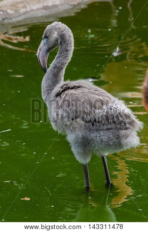 Fuzzy Baby Flamingo With Serious Gaze Staying In Water