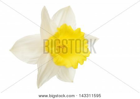 narcissus white flower isolated on white background
