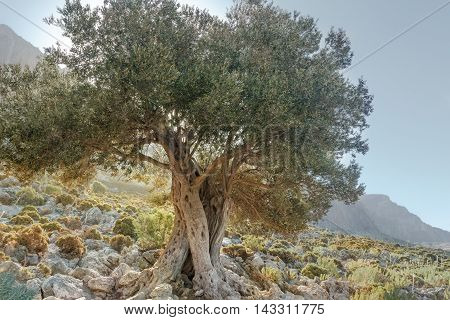 Landscape with gnarled old evergreen olive tree on Kalymnos island in Greece