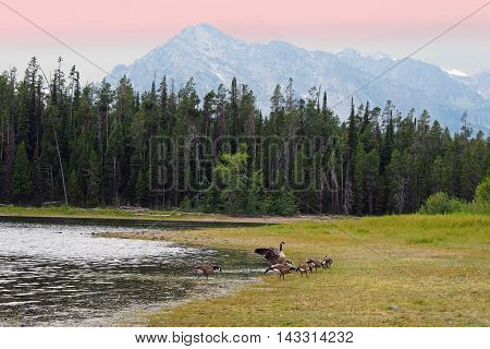 Grand Tetons lake with the geese and the pond