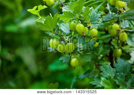 Gooseberry bush with unripe green berries growing in a garden in the open field. Growing fruits and berries at home.