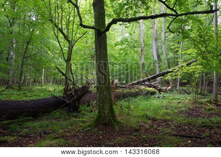 Old hornbeam tree in deciduous stand with broken lying ash in background, Bialowieza Forest, Poland, Europe