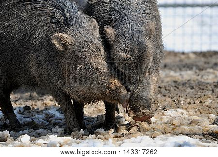 Detailed view of the animals in winter - wild boar