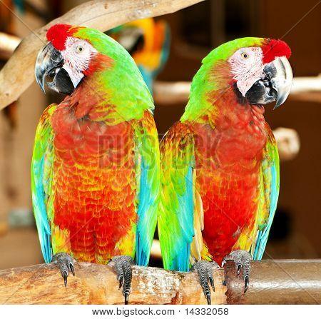 Aves Loro colorido sentado en la percha