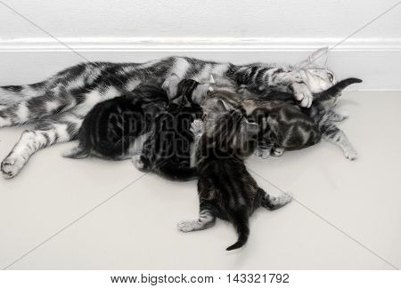 American shorthair mother cat was breastfeeding .