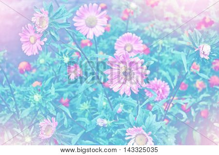 Pink astercolorful flowers on a background summer landscape