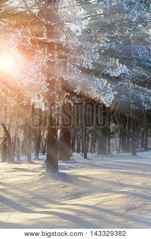 Early winter sunrise in the forest. Frosty winter trees under bright sunrise winter sunbeams. Winter forest landscape with the winter frosty trees in winter sunset - colorful winter forest view.