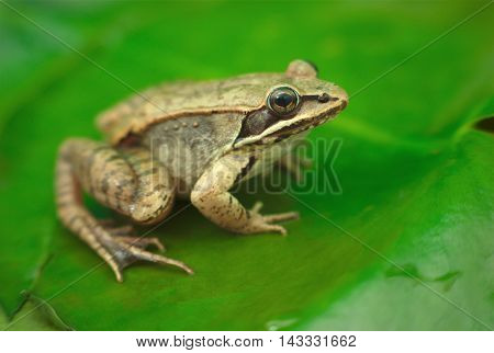 brown wood frog on a waterlily in a pond in nature