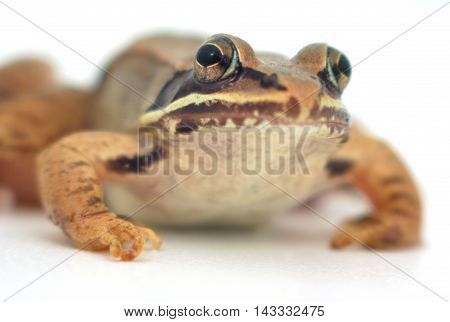 brown frog on white background, wood frog studio closeup