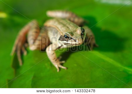 wood frog and green waterlily, amphibian macro and green leaf