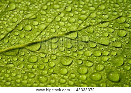 Raindrops on fresh green leaf in summer