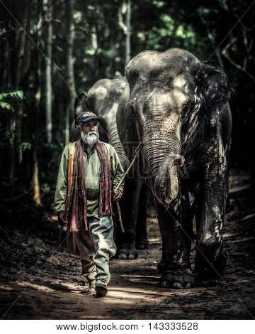 SURIN THAILAND - OCT 23 2015: A mahout walking with his elephant to go back home after bathing his elephant at a local lake. Ban Ta Klang is a well-known tourist site in Thailand.