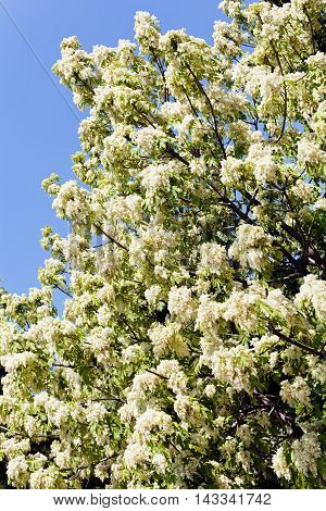 Treetop With White Flowers