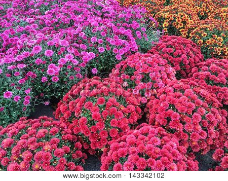 Beautiful red and purple chrysanthemums at the marketplace. Autumn flowers.