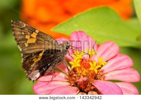 Hoary Edge butterfly feeding on pink Zinnia flower