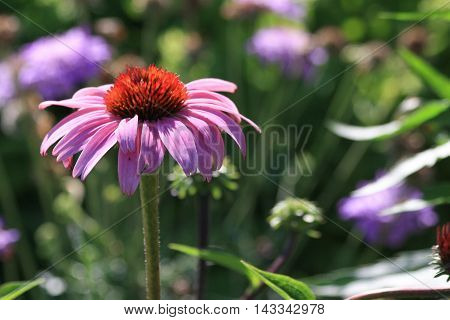 Close up of Purple Coneflower (Echinacea purpurea) with more flowers in background