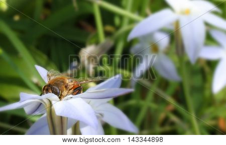 Photograph of a large syrphid fly (hoverfly) on a flower.
