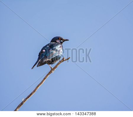 A Cape Glossy Starling perched on a twig in Southern Africa
